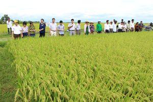 Phân bón Ninh Bình 'thúc' năng suất lúa miền Trung