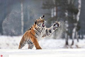Tuyết trắng xóa, động vật hoang dã tận hưởng mỹ mãn
