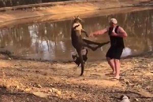 Màn 'đấu kungfu' giữa kangaroo và người dân