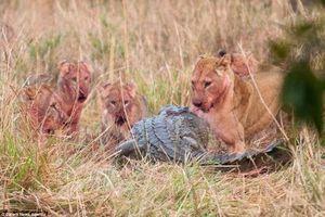 Cá sấu sông Nile liều lĩnh cướp mồi của bầy sư tử