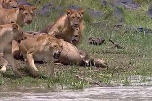 Clip: Sợ bị cướp mồi, sư tử hợp sức đuổi cá sấu