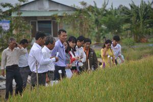 Trà Vinh chọn tạo giống lúa chịu hạn, mặn