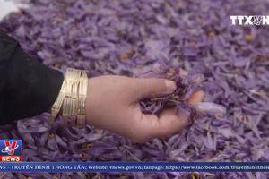 Một ngày hái vàng đỏ của người dân Afghanistan