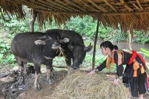 Tân Phượng: Chủ động phòng chống rét cho gia súc