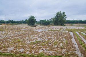 Nông dân Đà Nẵng, Quảng Nam 'khóc ròng' vì lo mất mùa Tết