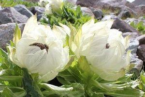Bí ẩn loài hoa thần dược 7 năm mới nở một lần được các đại gia săn lùng với giá 5 triệu một bông