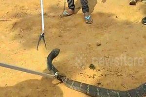 Bắt rắn hổ mang chúa khổng lồ để chụp ảnh, gây phẫn nộ
