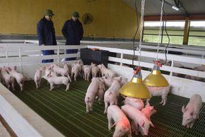 Những giống lợn chất lượng ngoại mang thương hiệu Việt