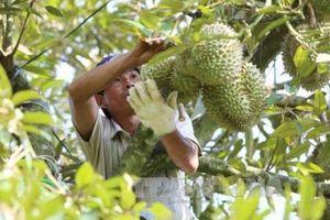 Đi tìm đầu ra bền vững cho trái cây xuất khẩu của Tiền Giang