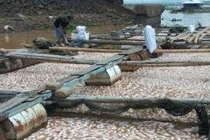 1.500 tấn cá chết, người nuôi cá bè ở Đồng Nai được nhận tiền hỗ trợ