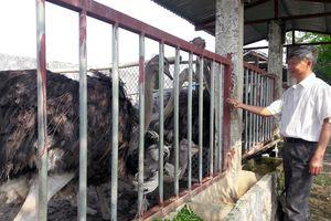 Nhiều hứa hẹn từ mô hình nuôi đà điểu châu Phi ở xứ Thanh