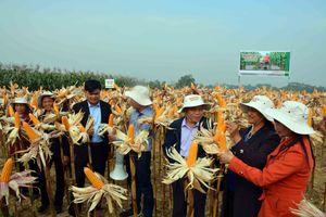 Nâng cao hiệu quả sản xuất nông nghiệp từ giống ngô chuyển gen