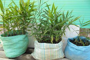 Kỹ thuật trồng gừng bằng bao xi măng đạt hiệu quả cao