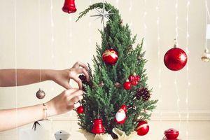 Giá chỉ từ 250.000 đồng nhưng cây thông Noel tươi chưa hấp dẫn người mua