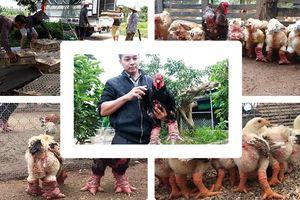 Nông dân Đông Tảo kiếm bộn tiền nhờ nuôi giống gà 'quý tộc'