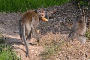 Bầy khỉ đại náo ở Sóc Trăng: Ném trứng, ném cả gà