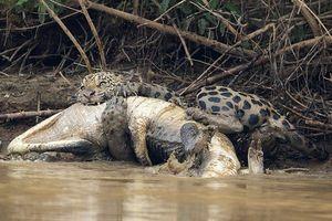 Cá sấu caiman bỏ mạng dưới nanh sắc của báo đốm Nam Mỹ