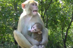 Sóc Trăng: 5 con khỉ đại náo làng quê