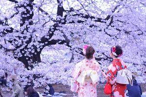 Hoa anh đào - Quốc hoa của người Nhật Bản