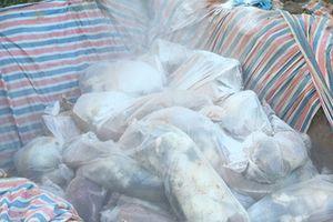 Thanh Hóa: Tiêu hủy hơn 200 con lợn nghi lở mồm long móng