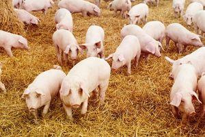 Giá heo (lợn) hơi hôm nay 22/12: Giảm nhẹ ở miền Bắc, miền Nam phục hồi giá tốt