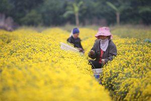 Ngất ngây bên vườn cúc 'tiến vua' ở gần Hà Nội