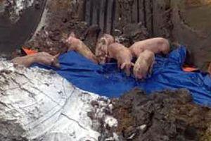 Ngăn chặn gần 100 con lợn lở mồm long móng trên đường đi tiêu thụ