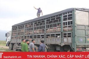 Tiêu hủy gần 100 con lợn bệnh LMLM bị bắt giữ trên QL 1A