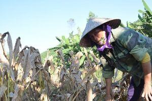 Nghệ An: Ồ ạt trồng cây nghệ, nông dân thất thu vì giá quá thấp