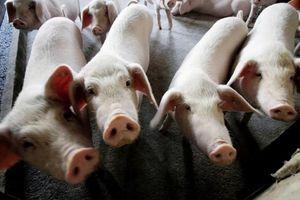 Tiếp tục bùng phát dịch sốt lợn châu Phi tại Trung Quốc