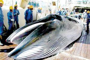 Nhật Bản đánh bắt cá voi trở lại