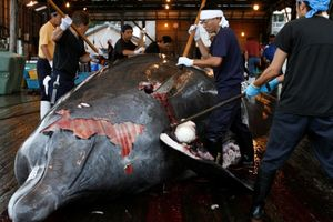 Nhật Bản tiếp tục đánh bắt cá voi làm thực phẩm, bỏ qua phản ứng quốc tế