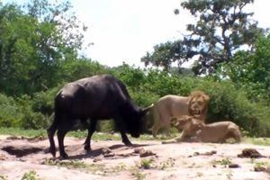 Clip: Trâu rừng 1 mình 'cân' cả 2 con sư tử