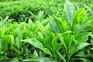 Những lợi ích không ngờ của trà xanh đối với sức khỏe