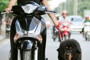 Hà Nội: Lý giải của vị Chi cục trưởng về việc gắn chip định vị để quản lý chó