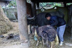 Tuyên Quang chủ động phòng chống đói, rét cho vật nuôi