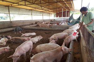 Hà Nội: Nỗ lực thu hẹp ổ dịch lở mồm long móng trên đàn gia súc