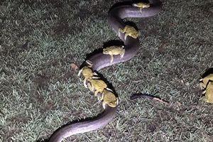 Hài hước cảnh 10 con cóc cưỡi trăn đi tránh bão