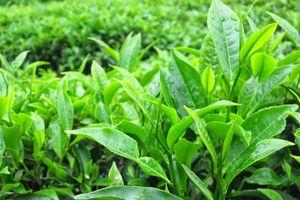 EGCG có trong lá trà xanh mang lại những lợi ích nào cho sức khỏe ?