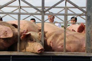 Phát hiện lô gia súc có chứa chất tạo nạc chuẩn bị được giết mổ