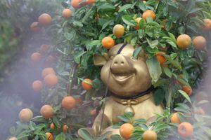 Độc đáo quất bonsai 'cưỡi' heo đón tết Kỷ Hợi
