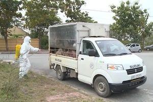 Hưng Yên: Bắt xe chở 1,5 tấn lợn lở mồm long móng đi tiêu thụ