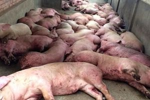 Trung Quốc thắt chặt kiểm dịch phòng chống dịch tả lợn châu Phi