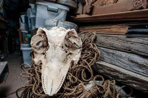 Bộ tộc bản địa New Zealand và nỗi buồn mùa cá voi mắc cạn