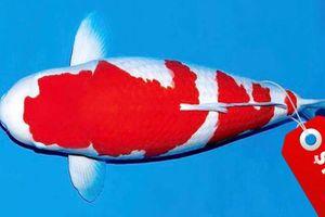Cá chép Koi Nhật Bản đắt nhất thế giới với giá 1,8 triệu USD
