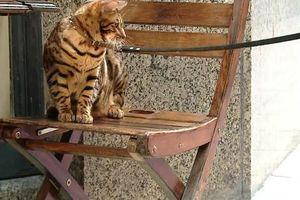 Gặp gỡ Coco - chú mèo luôn nghĩ mình là chó