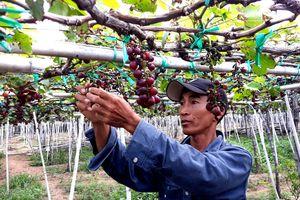 Người trồng nho ở Ninh Thuận khóc bên dự án trăm tỷ