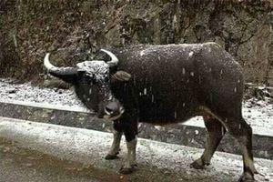 Hàng trăm con gia súc ở Cao Bằng, Bắc Kạn, Lạng Sơn bị chết rét
