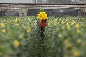 Làng hoa Tây Tựu khoe sắc trong gió đông chờ Tết