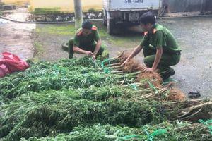 Truy tìm đối tượng trồng cần sa trong rẫy cà phê